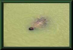 Wasserschildkröte (Podocnemis unifilis)