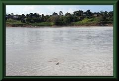 Amazonasdelfin (Inia geoffrensis)