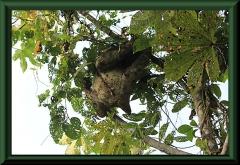 Dreifinger-Fautiere (Bradypus)