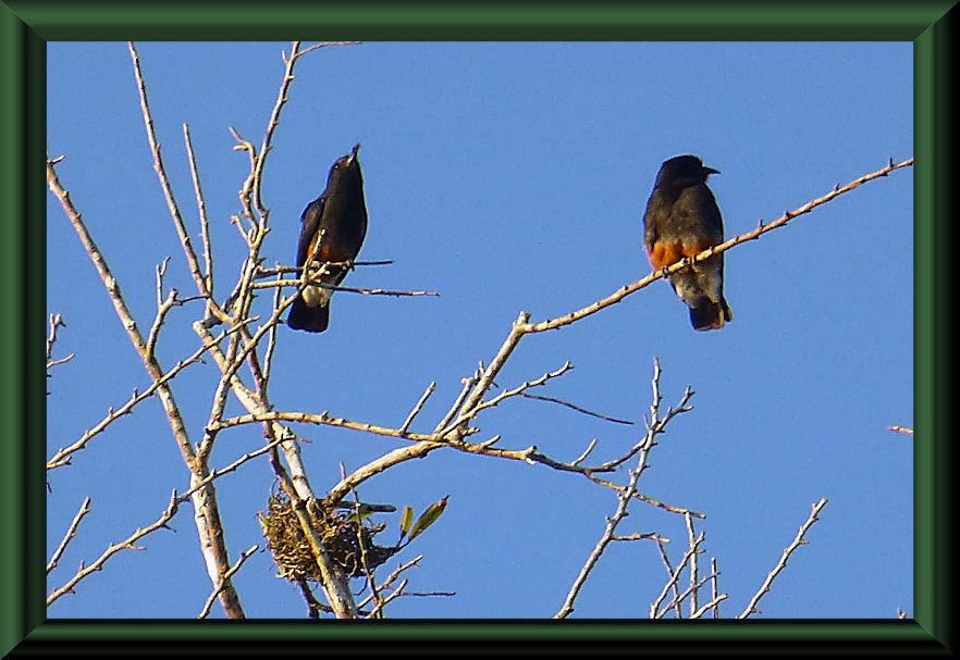 Schwalbenfaulvogel (Chelidoptera tenebrosa)