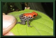 Ranitomeya reticulata