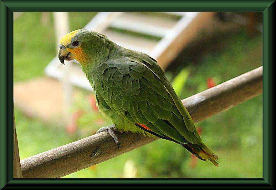 Amazona amazonica