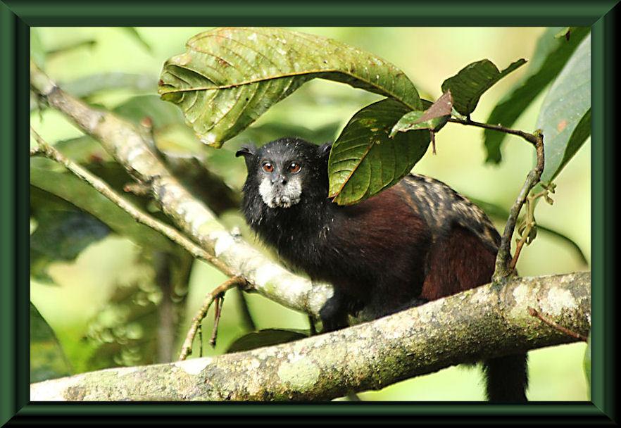 Braunrückentamarin (Saguinus fuscicollis)