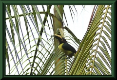 Schriftarassari (Pteroglossus inscriptus)