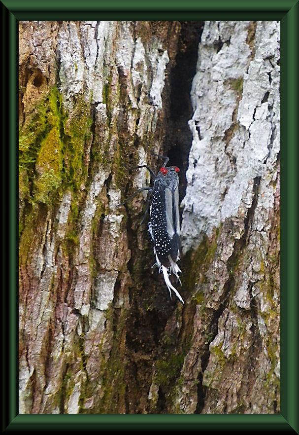 Pterodictya reticulata