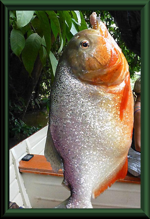 Natters Piranha (Pygocentrus nattereri)