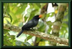 Schwarzstirntrappist (Monasa nigrifrons)