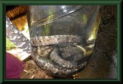 Schauer-Klapperschlange (Crotalus durissus), die giftigste Schlange Südamerikas