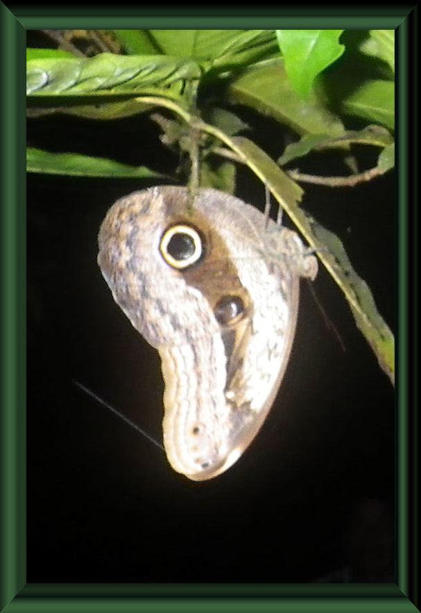 Caligo sp.