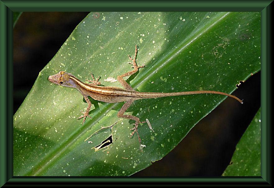 Anolis fuscoauratus
