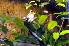 Jemenchamäleon (Chamaeleo calyptratus)