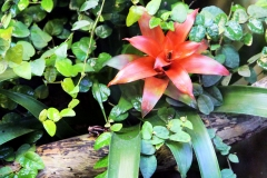 Dreistreifen-Baumsteiger (Epipedobates tricolor)
