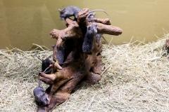 Ägyptische Stachelmaus