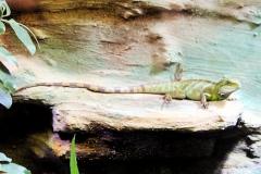 Grüne Wasseragame (Physignathus cocincinus)
