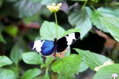 Blauer Passionsblumenfalter (Heliconicus cydno)