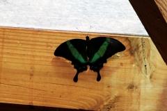 Neon Schwalbenschwanz (Papilio palinurus)