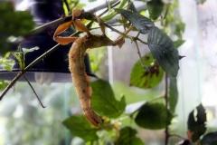 Australische Gespenstschrecke (Extatosoma tiaratum)