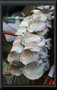 Diese Fische sollen sehr grätenreich sein. Daher werden sie eingeschnitten und dann so fritiert.