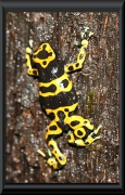 Pfeilgiftfrosch (Dendrobates leucomelas)
