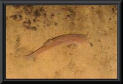 In der Höhle leben auch blinde Welse: Trichomycterus guianense