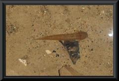 Trichomycterus guianense