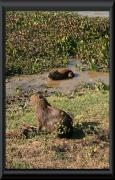 Wasserschweine (Hydrochoerus hydrochaeris)