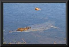 Orinoco-Krokodil (Crocodylus intermedius)