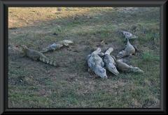 Krokodilkaimane (Caiman crocodilus)