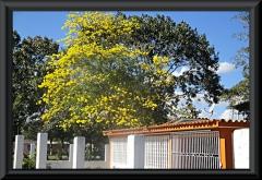Der Nationalbaum Venezuelas - der Goldbaum (Araguaney)