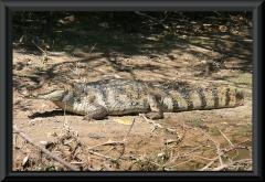 Krokodilkaiman (Caiman crocodilus)