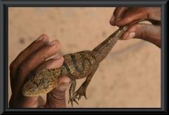 Krokodilkaiman (Caiman crocodilus), ca. 3 Monate alt