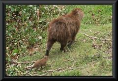 Wasserschwein/Capybara (Hydrochoerus hydrochaeris)