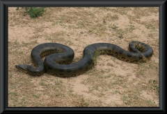 Anakondoa (Eunectes murinus)