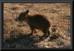 Wasserschwein/Capybara (Hydrochoerus hydrochaeris), ca. 3 Tage alt
