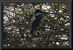 Amazonas-Eisvogel (Chloroceryle amazona)