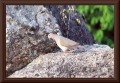 Purpurtaube (Patagioenas subvinacea)?