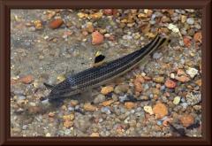 Leporellosalmler (Leporellus vittatus)