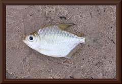 Tetragonopterus chalceus