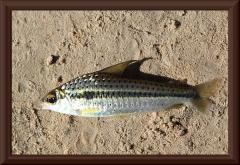 Caenotropus sp.