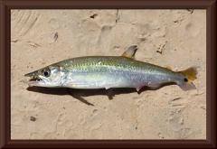 Acestrorhynchus sp.