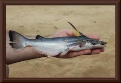 Delfinwels (Ageneiosus inermis) - Männchen