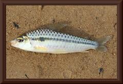 Caenotropis sp.
