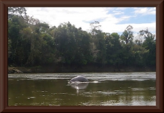 Amazonasdelfin