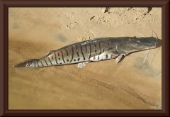 Tigerspatelwels (Pseudoplatystoma tigrinum)