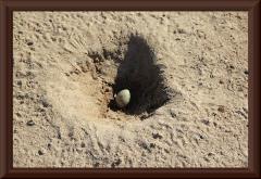 Nest eines Cayennekiebitz (Vanellus cayanus)