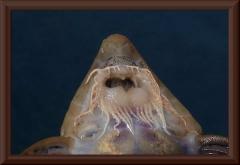 "Pseudohemiodon sp. ""Rio Ventuari"""