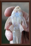Limatulichthys griseus