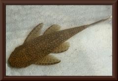 Dekeyseria scaphirhyncha (L 216)