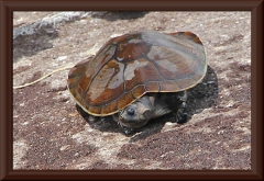 "Wasserschildkröte (sp. ""kolumbianisches Haustier"" - hinten an der Schnur zu erkennen )"