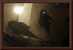 Pseudolithoxus anthrax (L 235)
